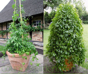 Продам комнатное растение Яогулан (траву бессмертия).