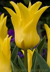 Продам луковицы Тюльпанов Лилиевидных и много других растений.