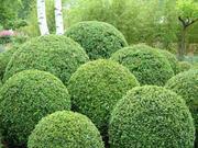 Самшит вечнозеленый – недорого и качественно