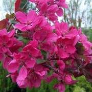 Яблони декоративные – для озеленения