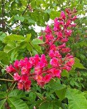Красный каштан Aesculus carnea – парк за неделю!